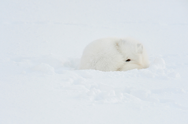 Arctic Fox (Alopex lagopus) Sleeping in snow, Wapusk NP, Cape Churchill, Manitoba, Canada