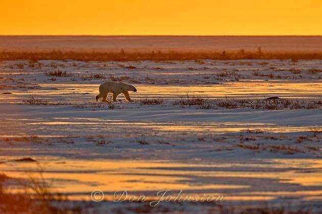 Polar bear (Ursus maritimus), Wapusk NP, Cape Churchill, Manitoba, Canada