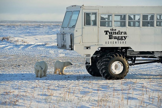 Tundra Buggy vehicle and curious polar bears, Wapusk NP, Cape Churchill, Manitoba, Canada