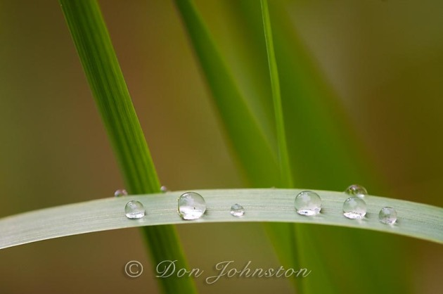 Canada blue joint, Calamagrostis canadensis. Raindrops on leaves