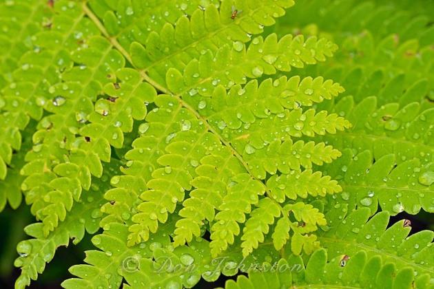 Interrupted fern (Osmunda claytoniana) fronds with raindrops