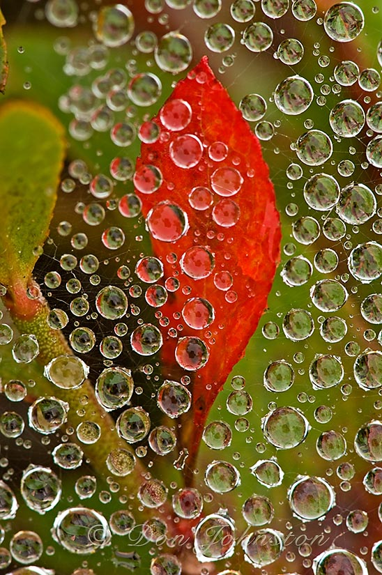 Raindrops on grass spider web with red blueberry leaf