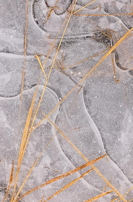 Trapped grasses in an ice-covered puddle