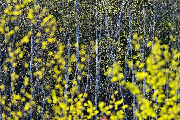Birch trees in spring. Selective focus. f 5.6 210 mm