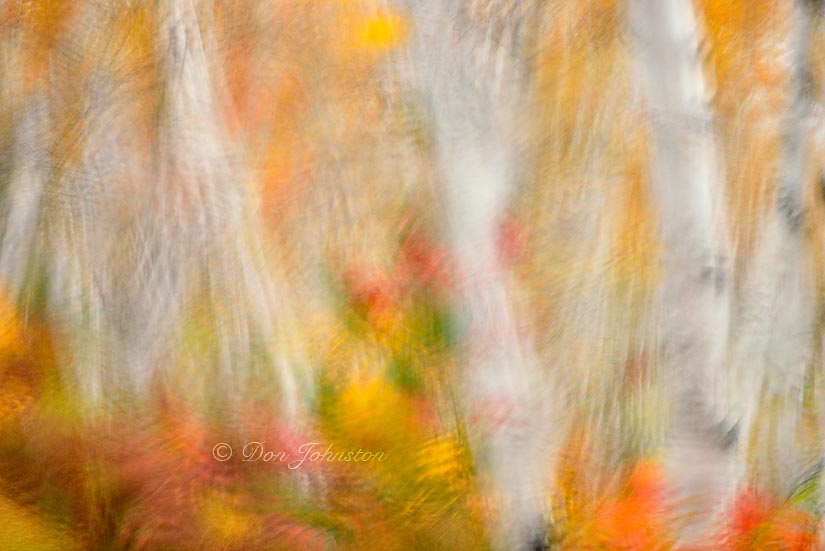 White birch tree woodland in autumn colour at Lake Laurentian Conservation area as seen through a rain-soaked windshield. 105 mm lens f 3.5