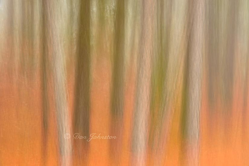 Red pine woodland in morning fog- camera movement, 5 seconds, f20, 125 mm