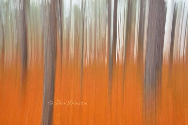 Red pine tree trunks in morning fog- camera movement, 3 seconds, f20, 34 mm