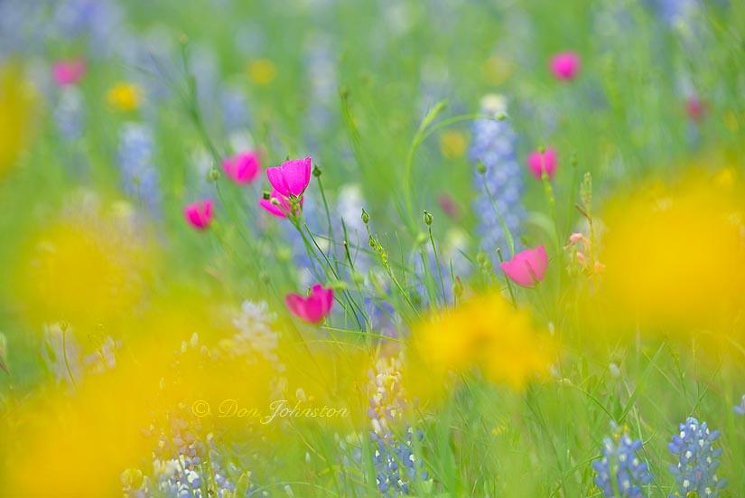 Texas wildflowers, telephoto lens, selective focus 300 mm @ f7.1